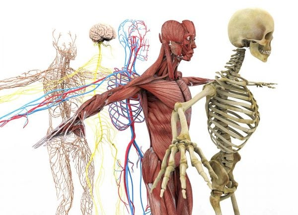 diagram of nerves, muscles, and skeleton for chiropractic care in new york city